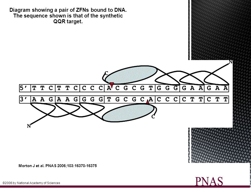 Diagram showing a pair of ZFNs bound to DNA