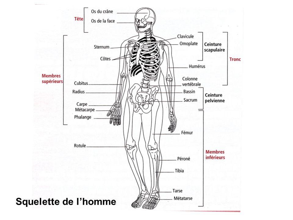 Squelette de l'homme