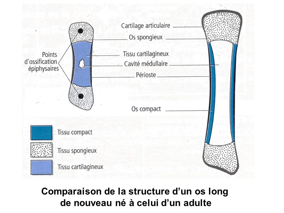 Comparaison de la structure d'un os long