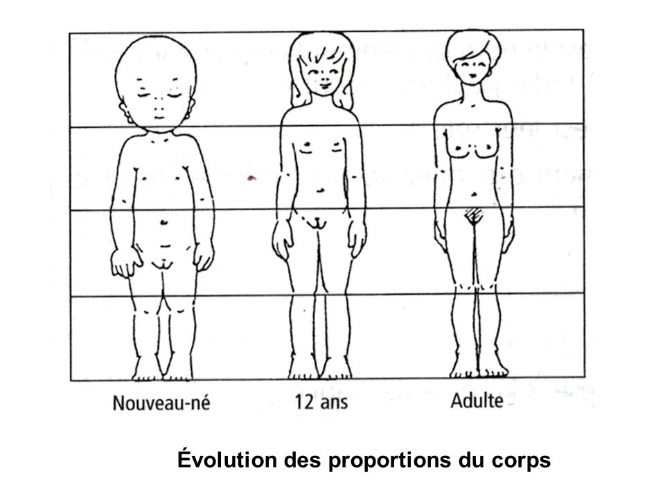 Évolution des proportions du corps