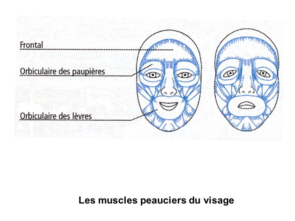 Les muscles peauciers du visage