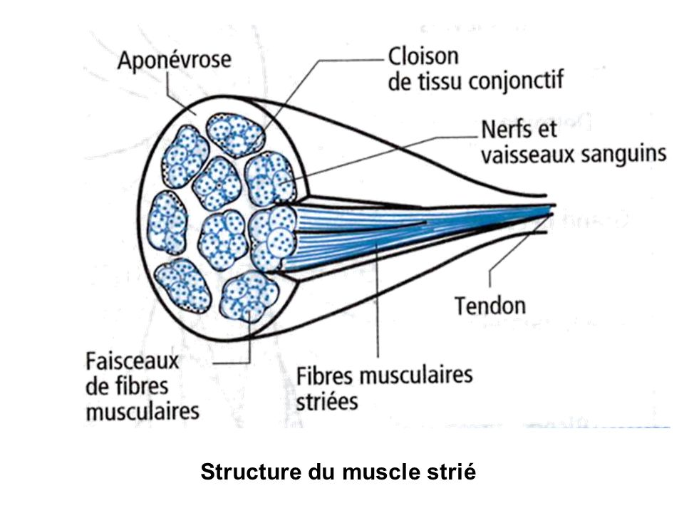 Structure du muscle strié