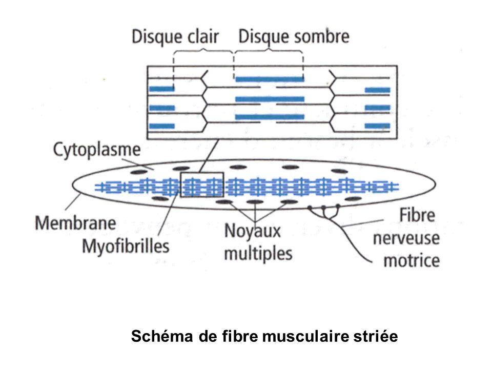 Schéma de fibre musculaire striée