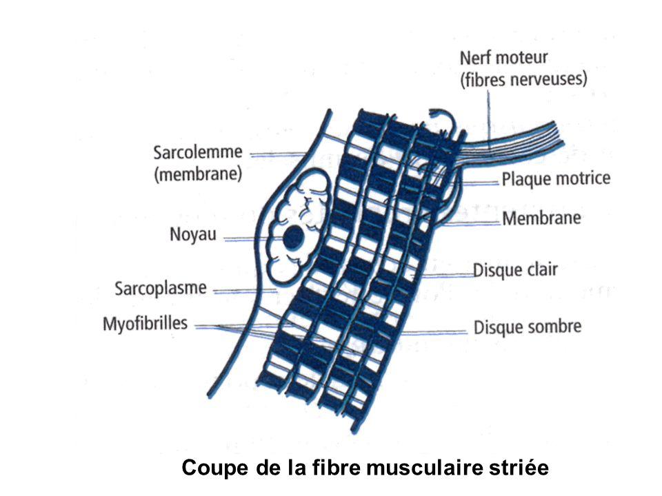 Coupe de la fibre musculaire striée