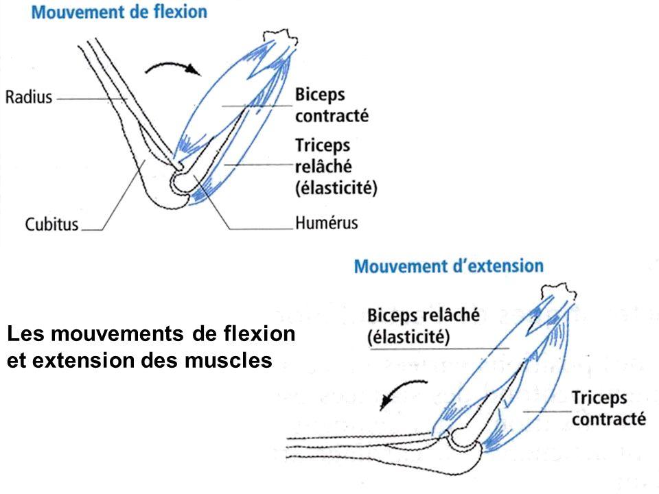 Les mouvements de flexion