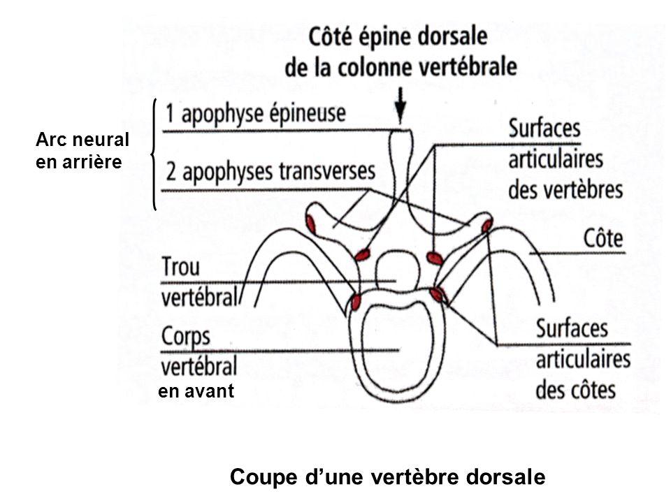 Coupe d'une vertèbre dorsale