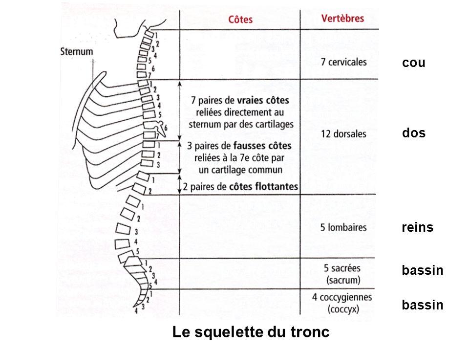 Le squelette du tronc cou dos reins bassin