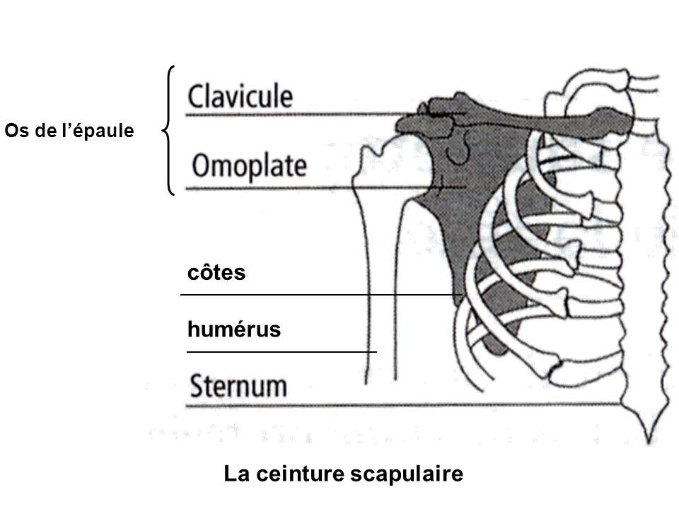 La ceinture scapulaire