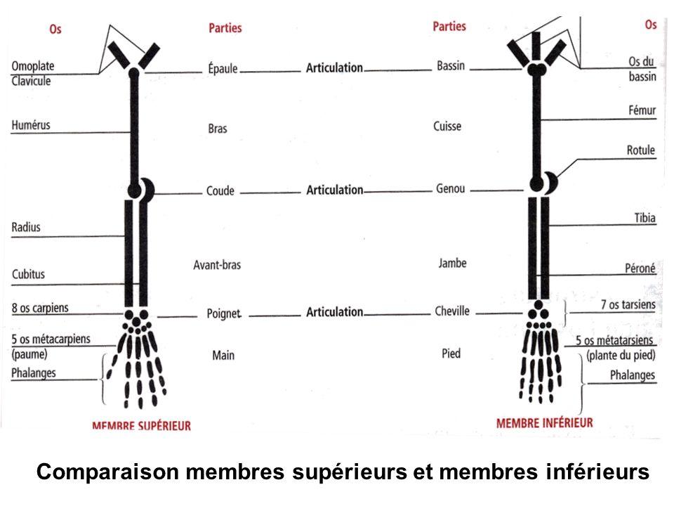 Comparaison membres supérieurs et membres inférieurs