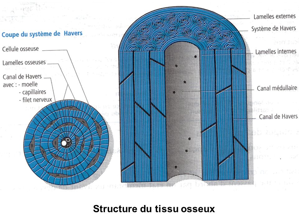 Structure du tissu osseux