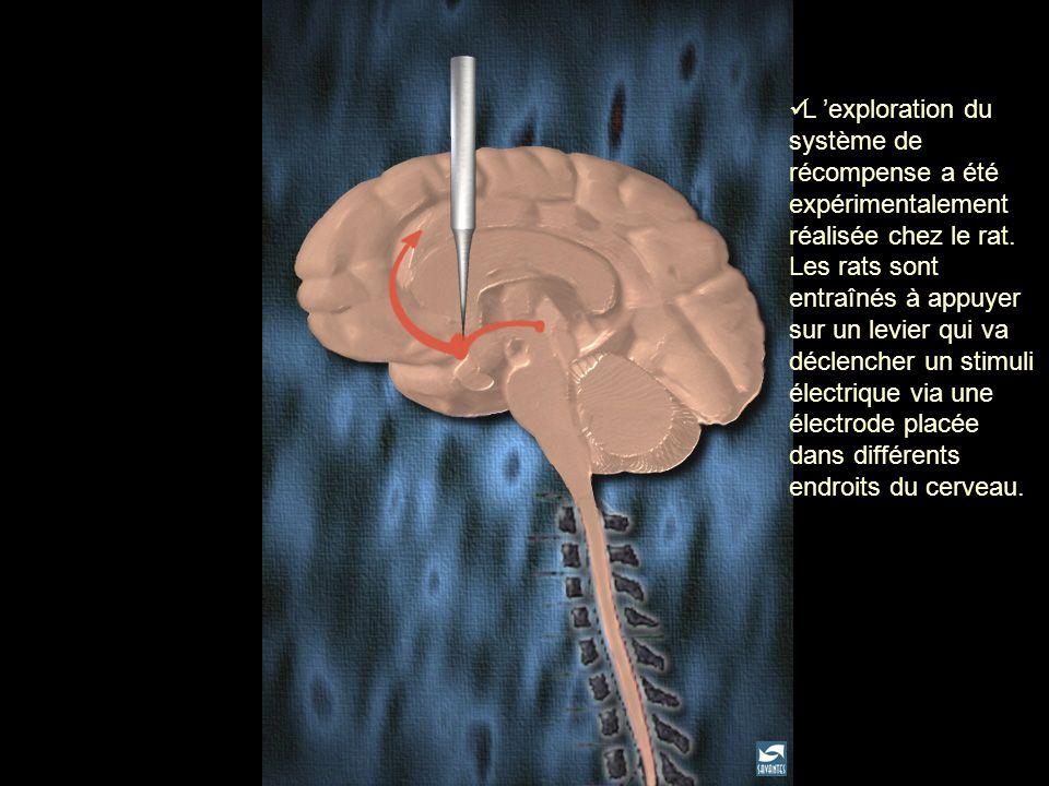 L 'exploration du système de récompense a été expérimentalement réalisée chez le rat. Les rats sont entraînés à appuyer sur un levier qui va déclencher un stimuli électrique via une électrode placée dans différents endroits du cerveau.