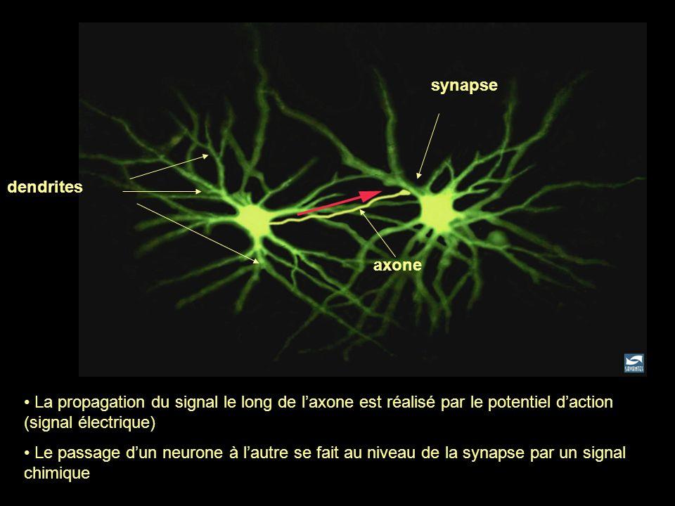 synapse axone. dendrites. Passage de l 'influx nerveux.