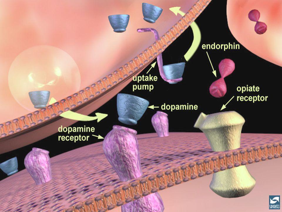 Transmission dopaminergique et modulation par les opioïdes endogènes.