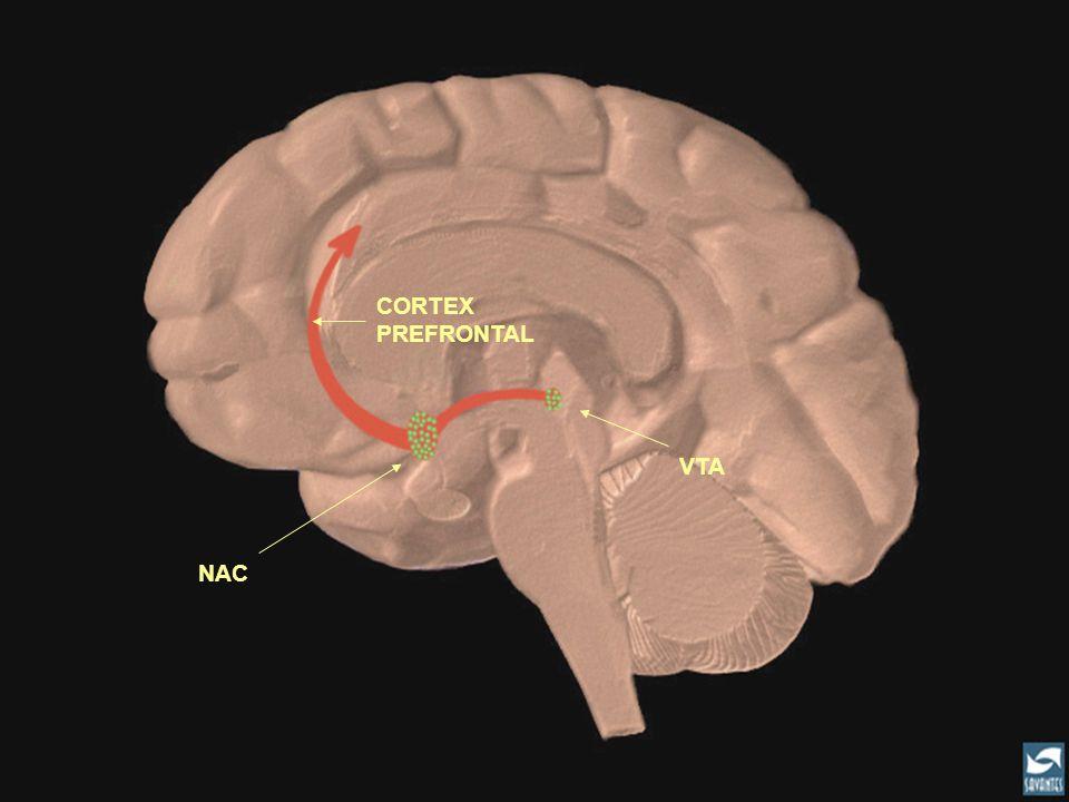 CORTEX PREFRONTAL VTA. L'héroïne se lie au récepteurs des neurones se trouvant au niveau du VTA et du NAC.