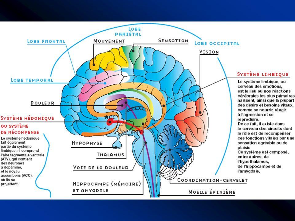 Régions du cerveau et systèmes neuronaux
