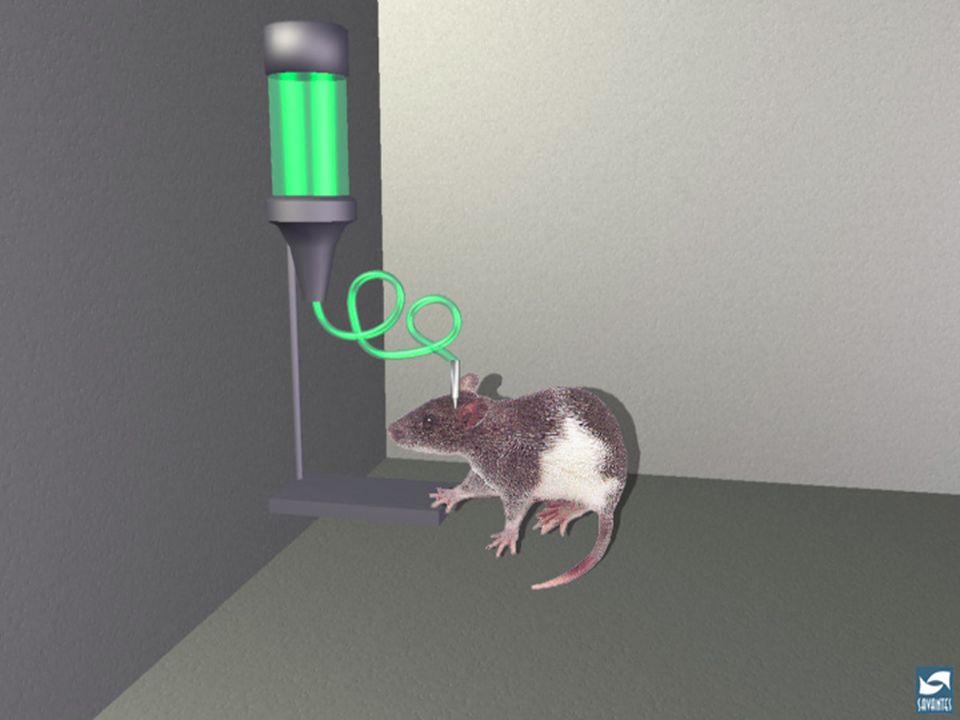 Auto-administration d 'héroïne par le rat