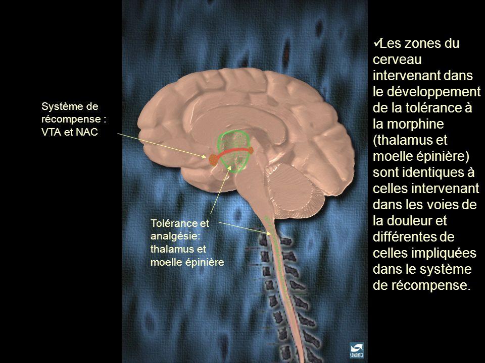 Les zones du cerveau intervenant dans le développement de la tolérance à la morphine (thalamus et moelle épinière) sont identiques à celles intervenant dans les voies de la douleur et différentes de celles impliquées dans le système de récompense.