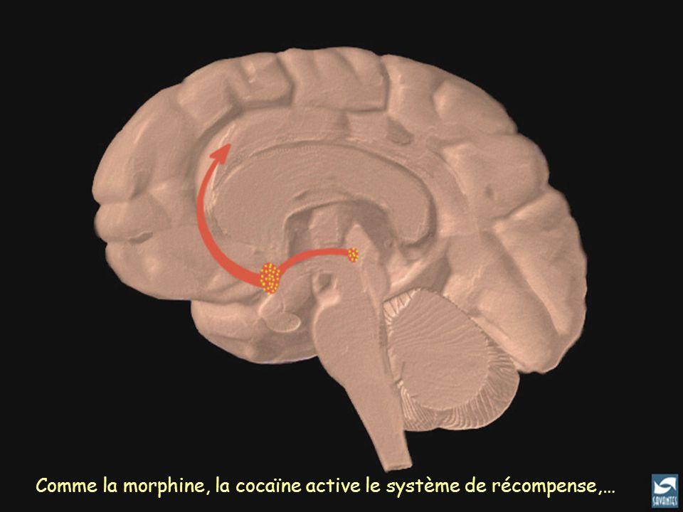 Comme la morphine, la cocaïne active le système de récompense,…