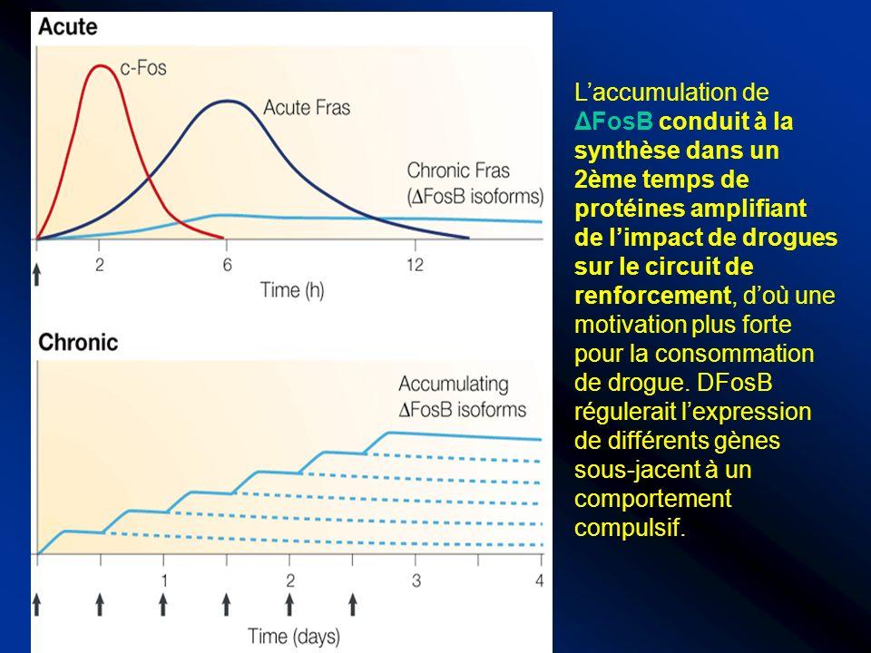 L'accumulation de ΔFosB conduit à la synthèse dans un 2ème temps de protéines amplifiant de l'impact de drogues sur le circuit de renforcement, d'où une motivation plus forte pour la consommation de drogue.