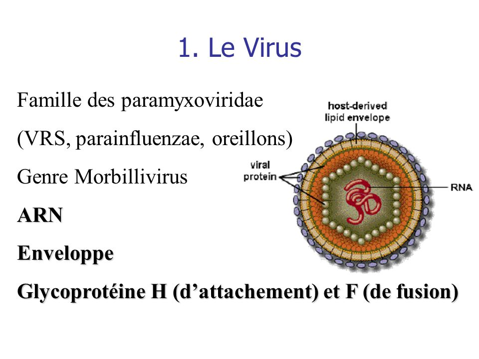 1. Le Virus Famille des paramyxoviridae