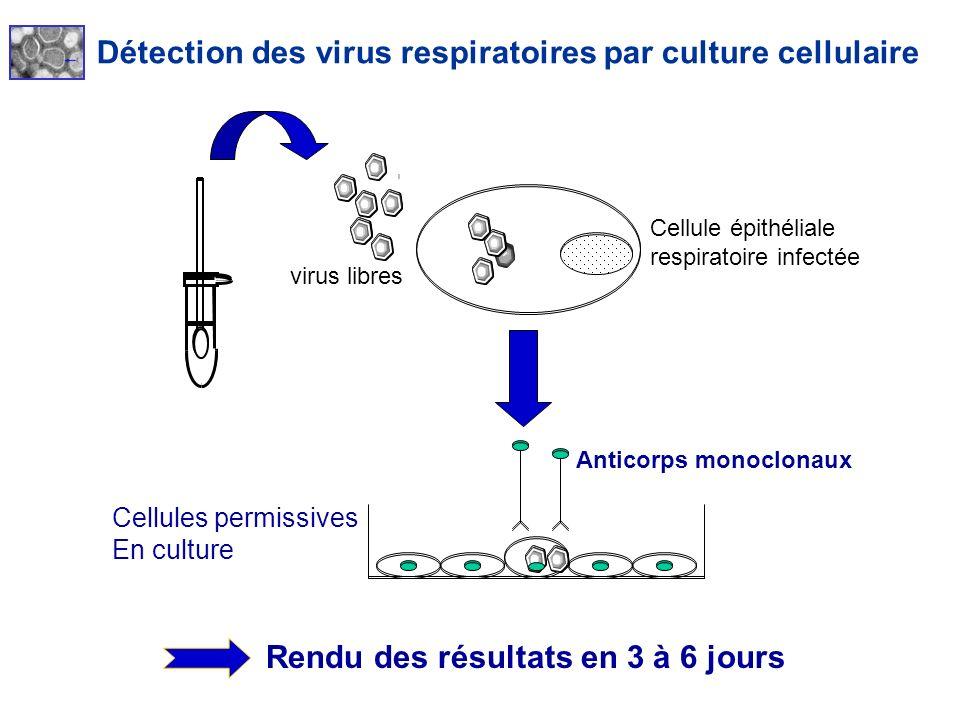 Détection des virus respiratoires par culture cellulaire