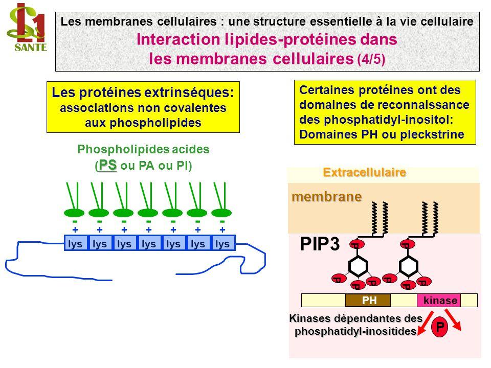 Les membranes cellulaires : une structure essentielle à la vie cellulaire