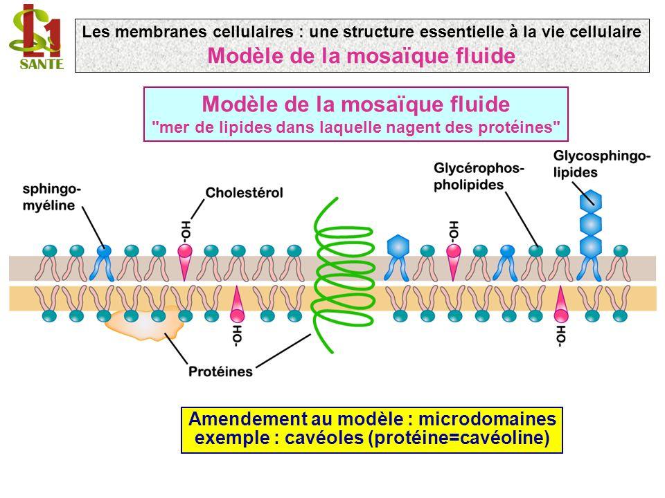 Modèle de la mosaïque fluide Modèle de la mosaïque fluide