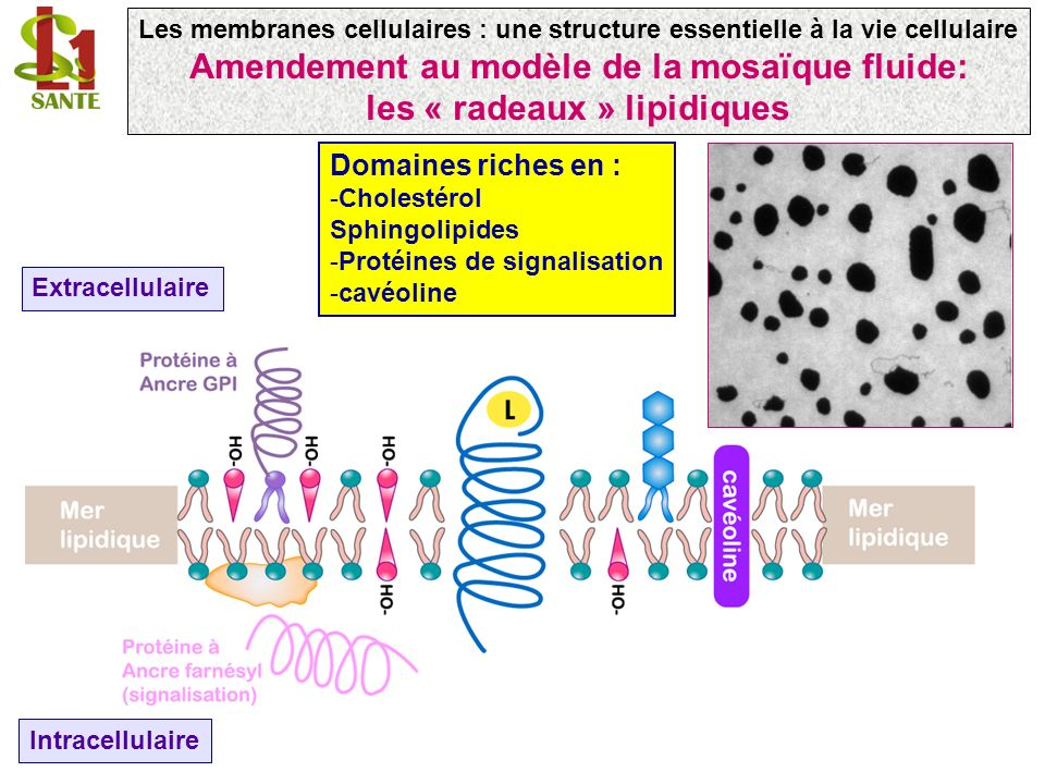 Amendement au modèle de la mosaïque fluide: les « radeaux » lipidiques