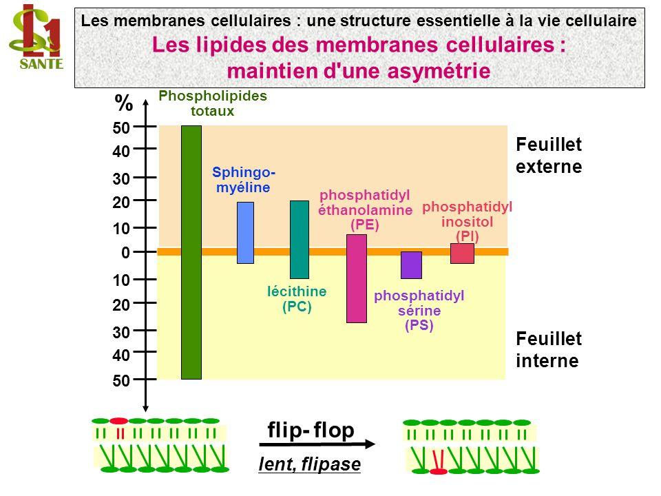 Les lipides des membranes cellulaires : maintien d une asymétrie