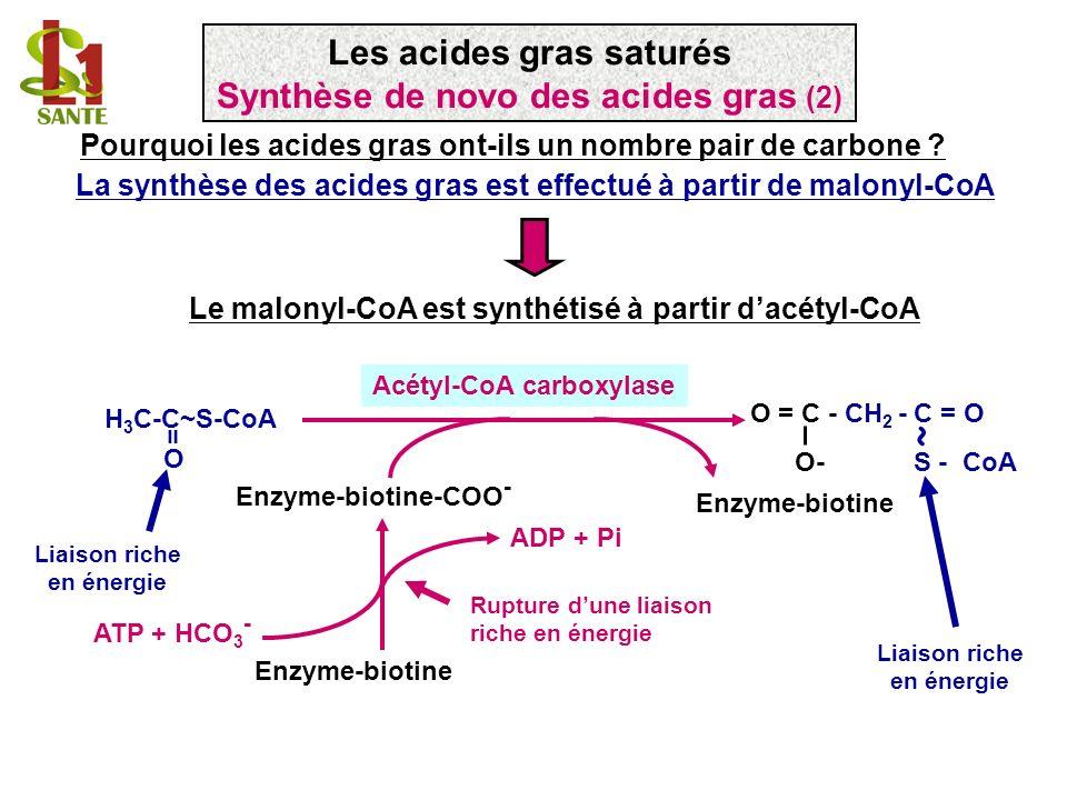 ~ Les acides gras saturés Synthèse de novo des acides gras (2)