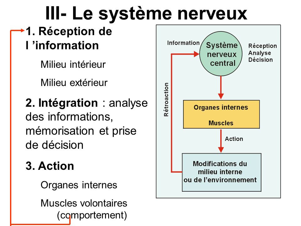 III- Le système nerveux