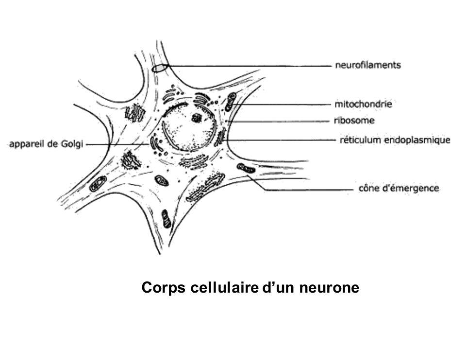 Corps cellulaire d'un neurone