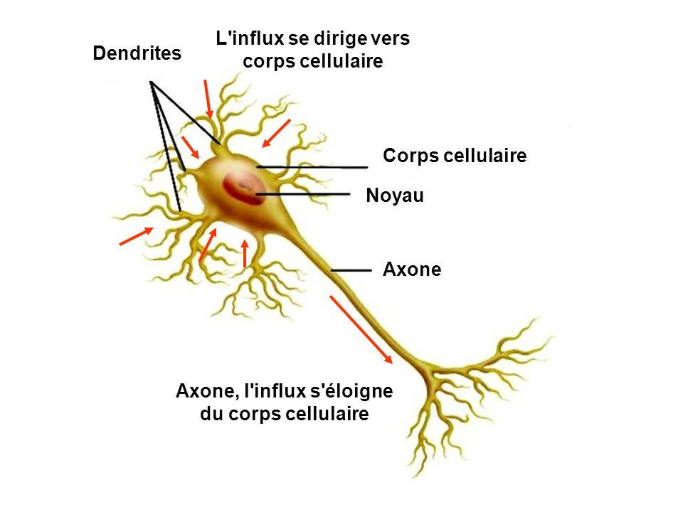 L influx se dirige vers corps cellulaire Dendrites