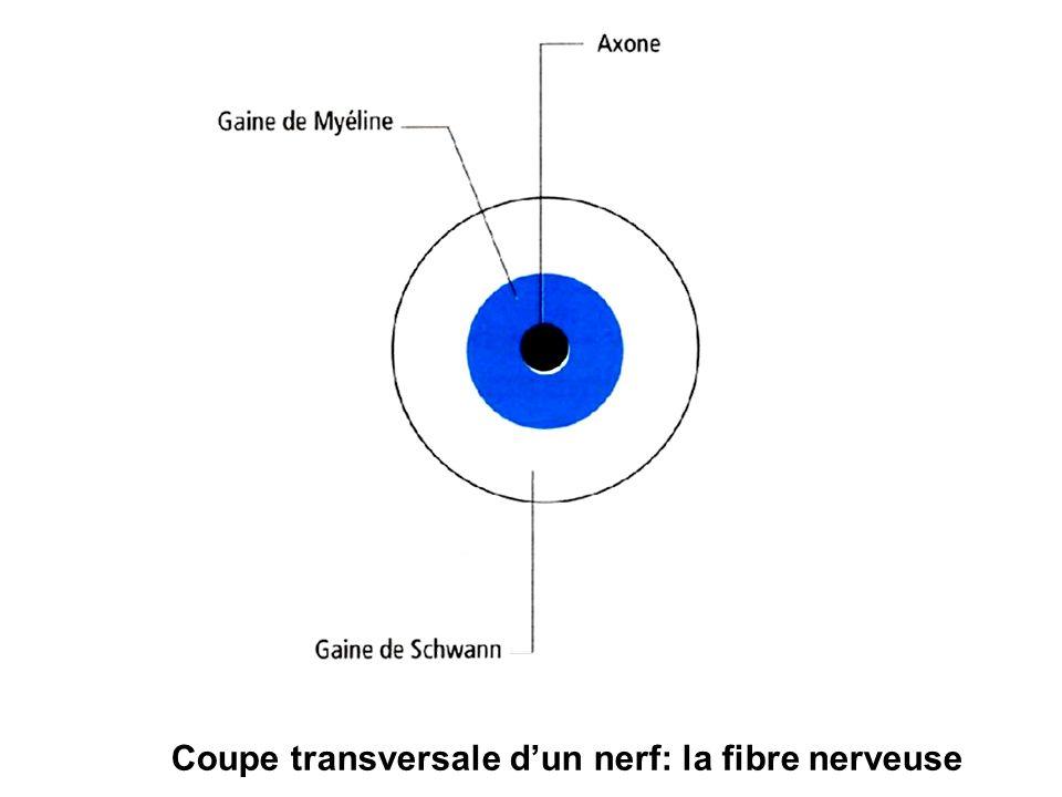 Coupe transversale d'un nerf: la fibre nerveuse