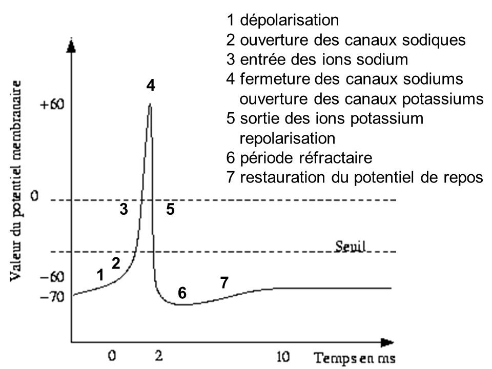1 dépolarisation 2 ouverture des canaux sodiques. 3 entrée des ions sodium. 4 fermeture des canaux sodiums.