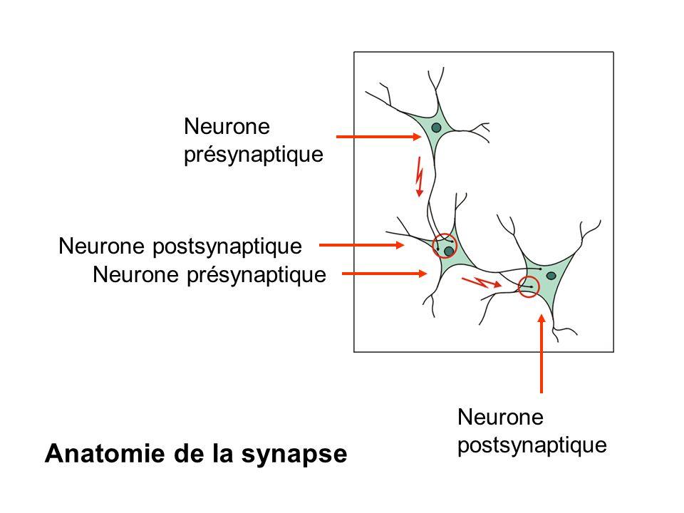 Anatomie de la synapse Neurone présynaptique Neurone postsynaptique