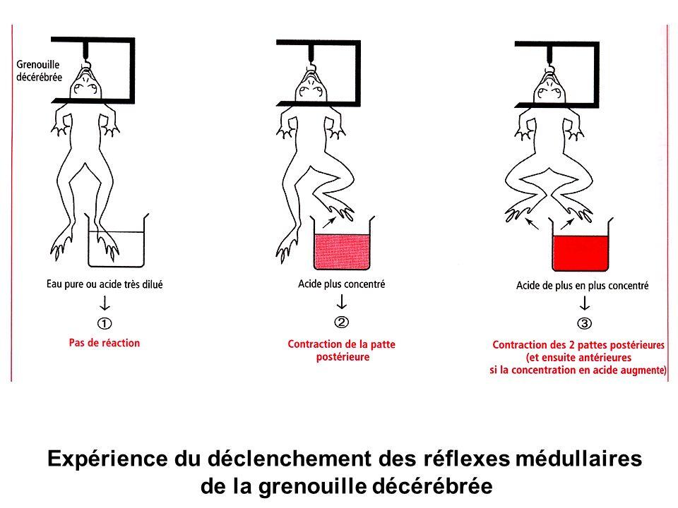 Expérience du déclenchement des réflexes médullaires