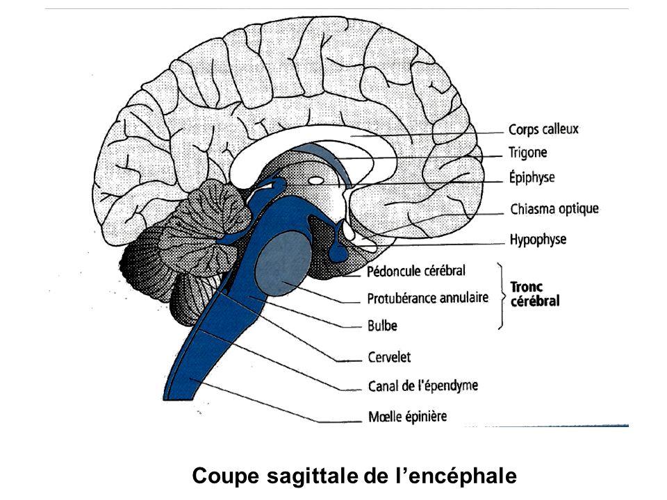 Coupe sagittale de l'encéphale