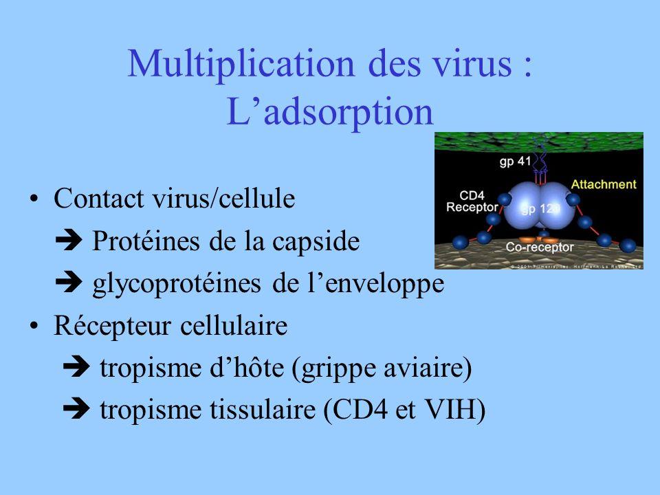Multiplication des virus : L'adsorption