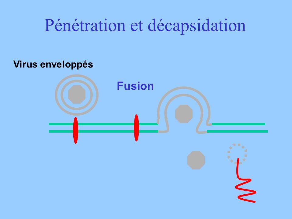 Pénétration et décapsidation