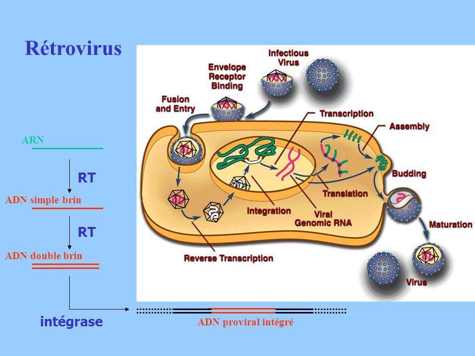 Rétrovirus RT RT intégrase ARN ADN simple brin ADN double brin