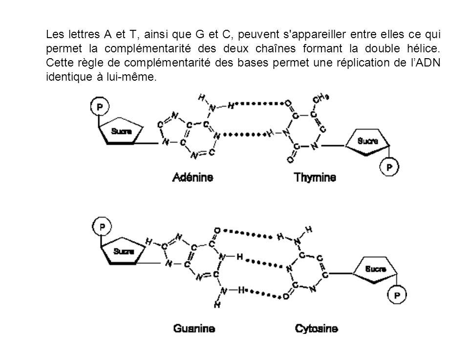 Les lettres A et T, ainsi que G et C, peuvent s appareiller entre elles ce qui permet la complémentarité des deux chaînes formant la double hélice.