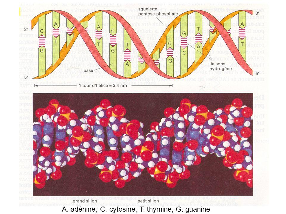 A: adénine; C: cytosine; T: thymine; G: guanine