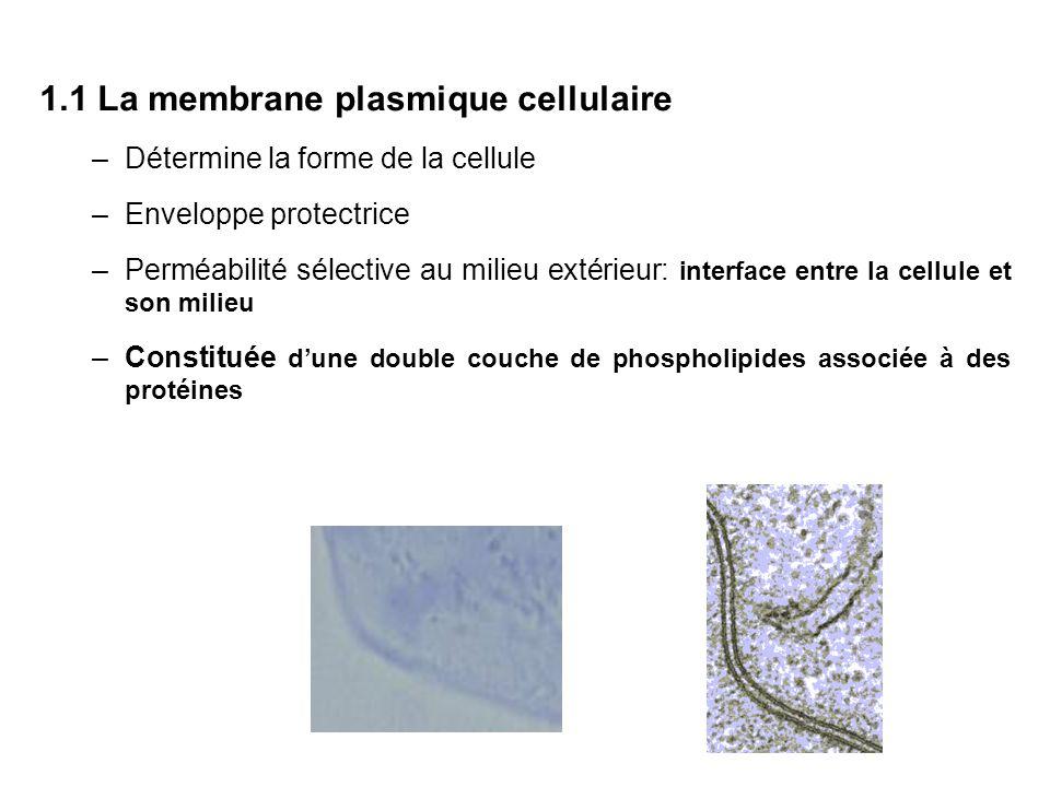1.1 La membrane plasmique cellulaire