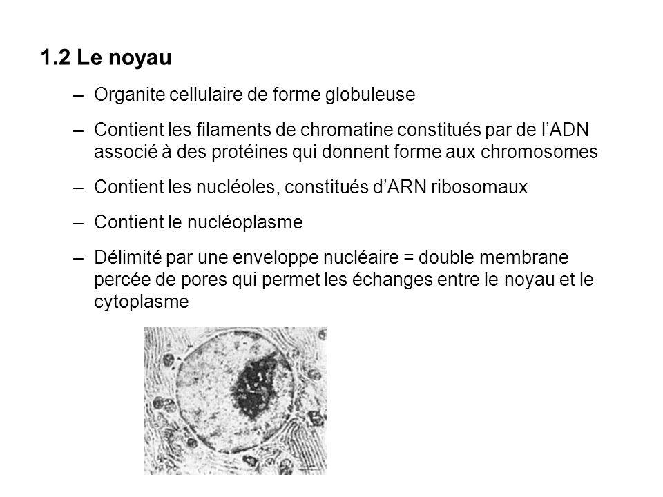 1.2 Le noyau Organite cellulaire de forme globuleuse