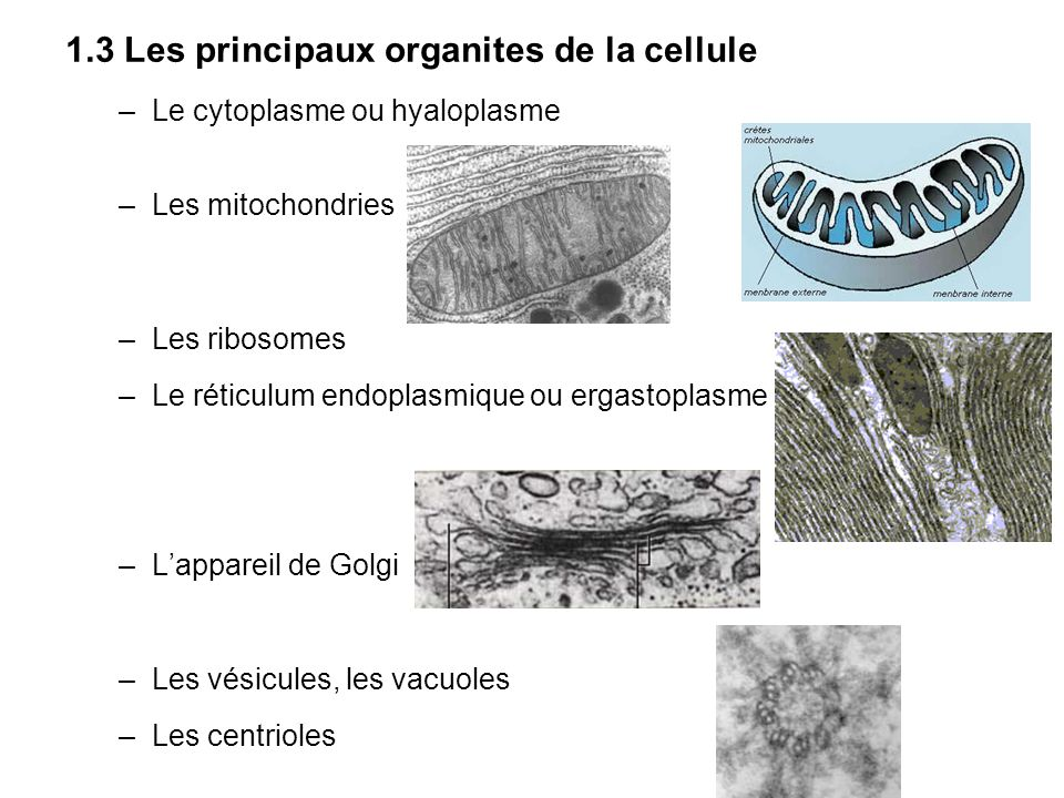1.3 Les principaux organites de la cellule