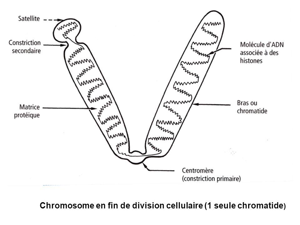 Chromosome en fin de division cellulaire (1 seule chromatide)