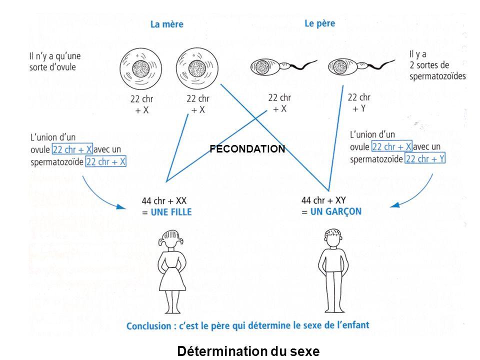 FECONDATION Détermination du sexe