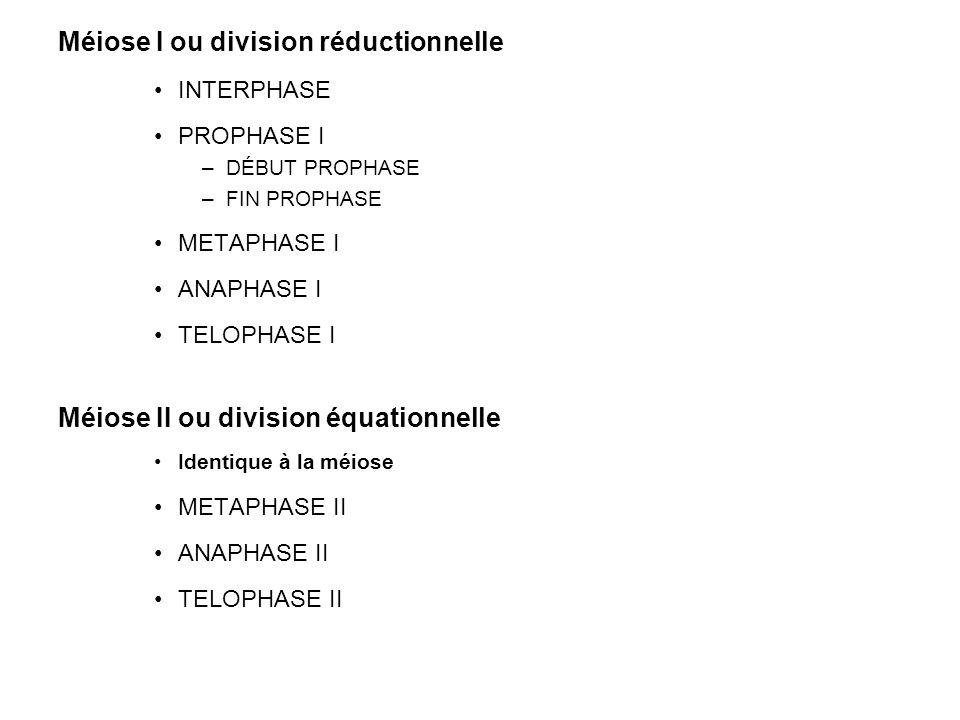 Méiose I ou division réductionnelle