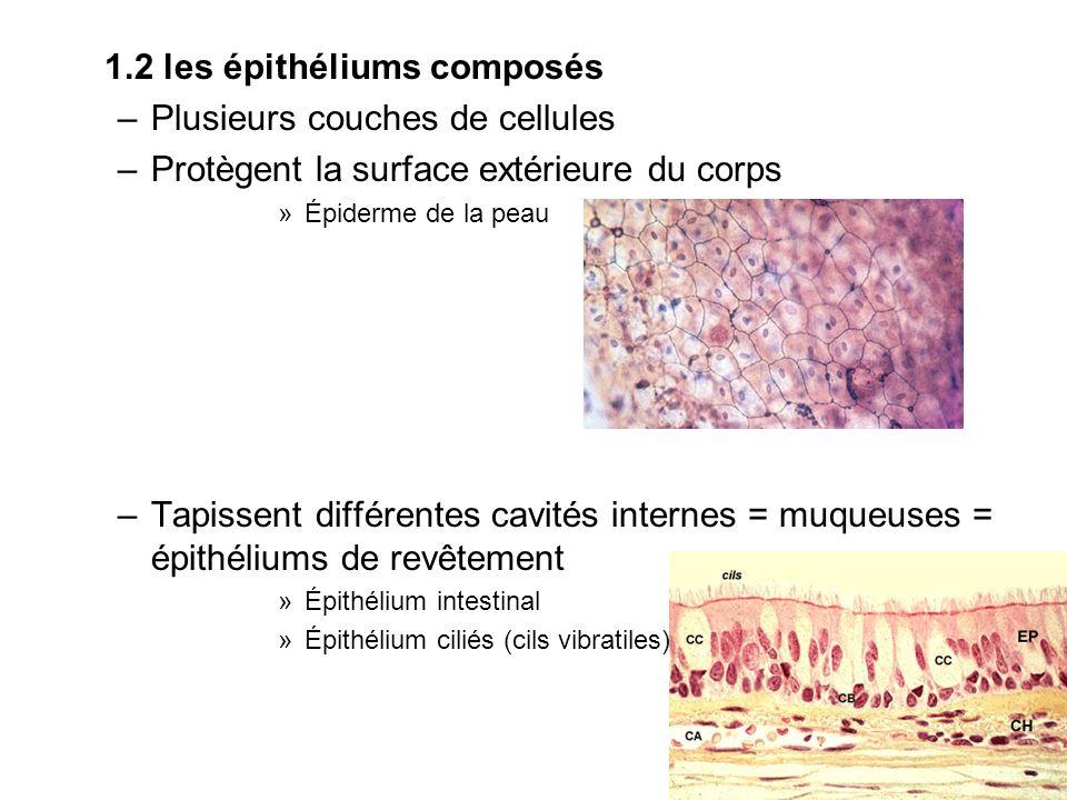 1.2 les épithéliums composés Plusieurs couches de cellules